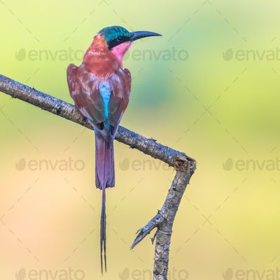 Southern carmine bee eater insta