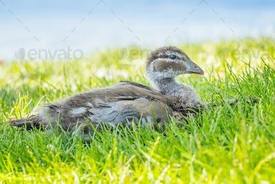 Australian Wood Duck Duckling