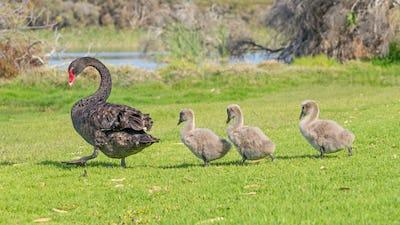 Black Swan Walking With Cygnets