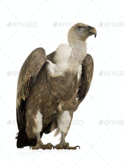 Griffon Vulture - Gyps fulvus