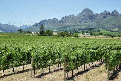Vineyards landscape near Franschhoek