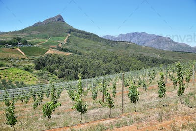 Vineyards landscape in Delaire Graff estate
