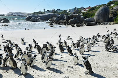 African penguins in Boulders beach