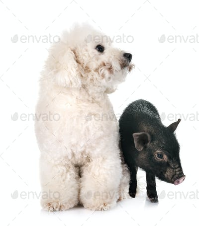 vietnamese pig and bichon