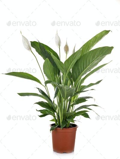 Spathiphyllum in studio