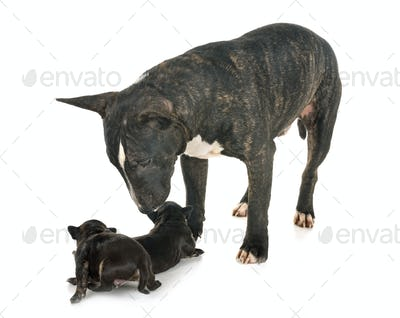 miniature bull terrier and puppies