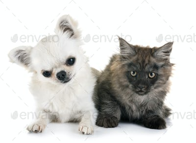 maine coon kitten and chihuahua