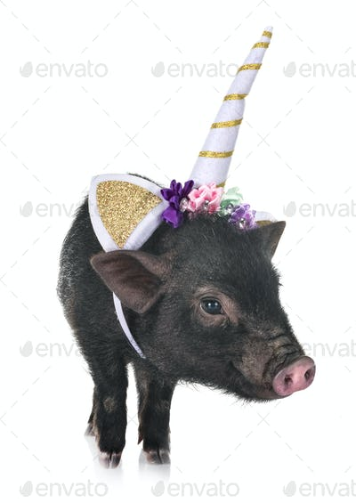 unicorn vietnamese pig in studio