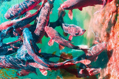 In the ocean, fish swim