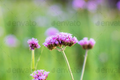 Verbena flower with sunrise