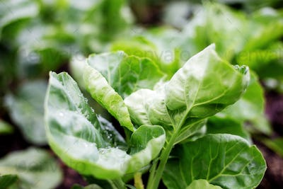 Leaves of chinese kale in farm