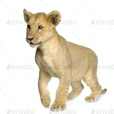Lion Cub (4 months)