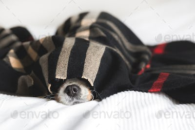 Cute dog under the blanket