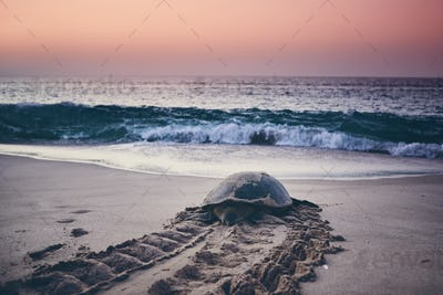 Green turtle heading back to ocean