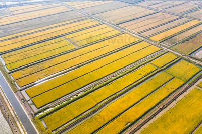 aerial view of golden paddy field in autumn
