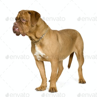 Dogue de Bordeaux (10 months)