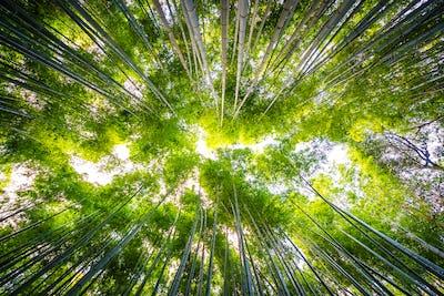 Beautiful landscape of bamboo grove in the forest at Arashiyama