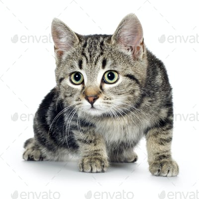 european kitten (3 months)