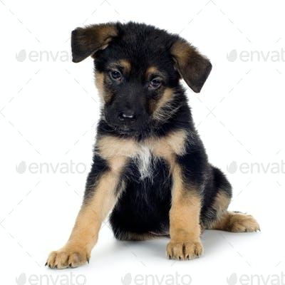 german shepherd (7 weeks)/ alsatian, police dog