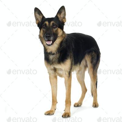 german shepherd (4 years)/ alsatian, police dog