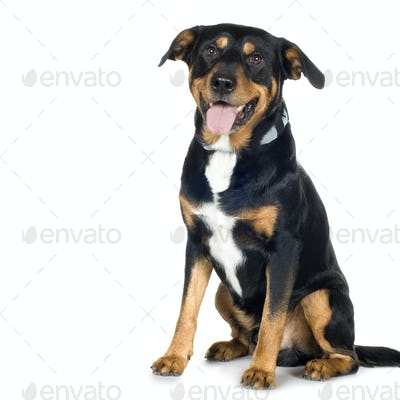 crossbreed Beagle and Rottweiler (6 years)