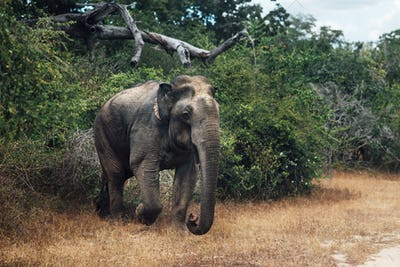 Elephant in the forest in shrilanka