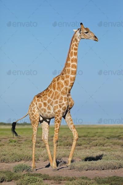 Giraffe on Etosha plains