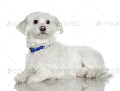 maltese dog (5 years)