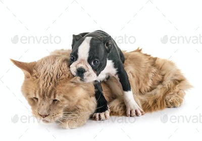 maine coon cat and little dog