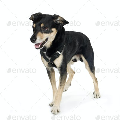 crossbreed German sheperd and rottweiler (6 years)