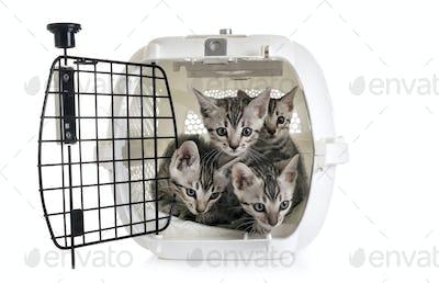 bengal kitten in kennel