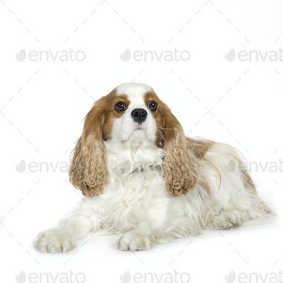 Cavalier King Charles Spaniel (4 years)