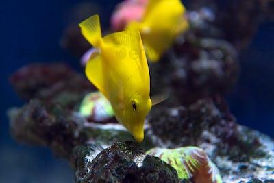 Zebrasoma fish and corals in aquarium