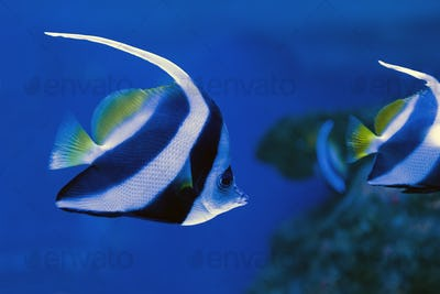 Moorish idol swimming in the aquarium