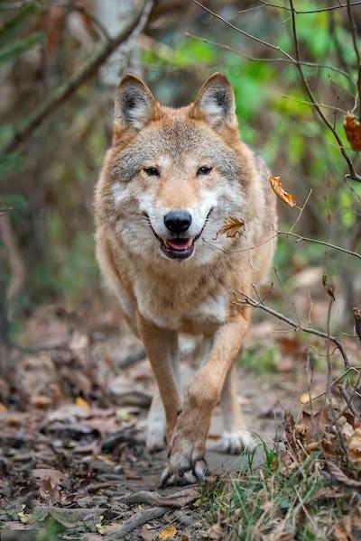 Wolf in autumn forest