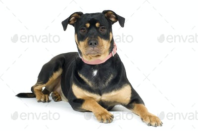 American Staffordshire terrier (1 year)