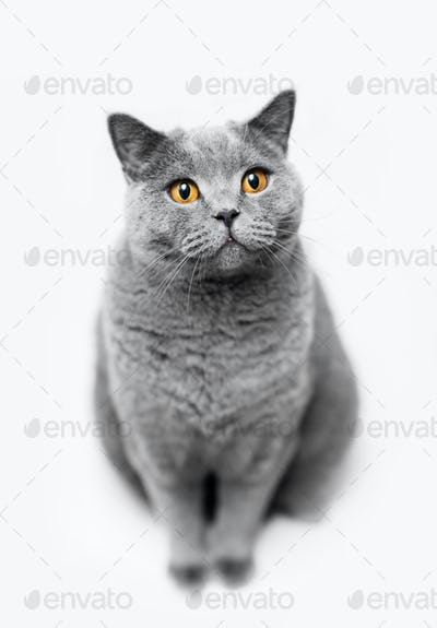 Fluffy grey cat sitting on white background