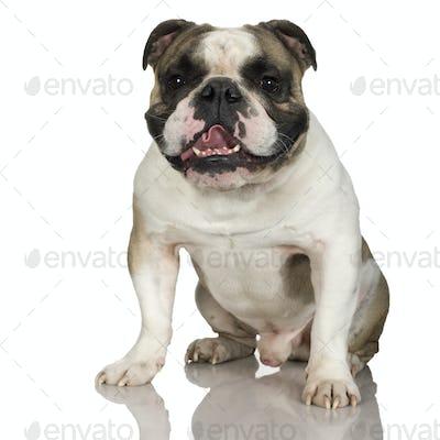 english Bulldog (3 years)
