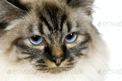 Blu-tabby-point Birman (18 months)