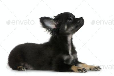 chihuahua (3 months)