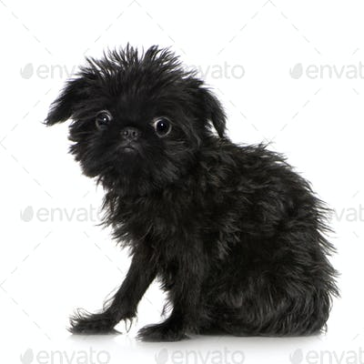 Griffon Bruxellois (3 months)