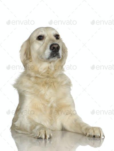 Labrador retriever cream (3 years)