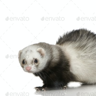 Ferret (1 year)