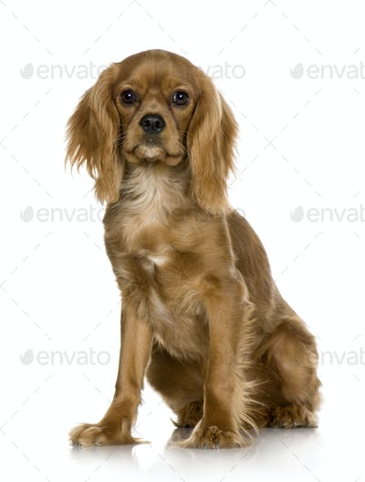 Cavalier King Charles Spaniel (6 months)