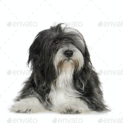 Tibetan Terrier (6 years)