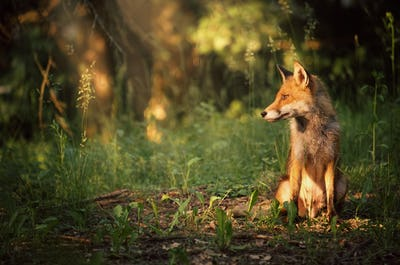 Fox on the summer forest