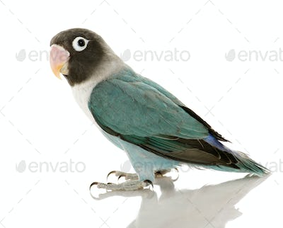 Blue Masked Lovebird - Agapornis personata