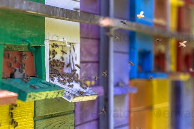 Bees flying to Colorful beehives