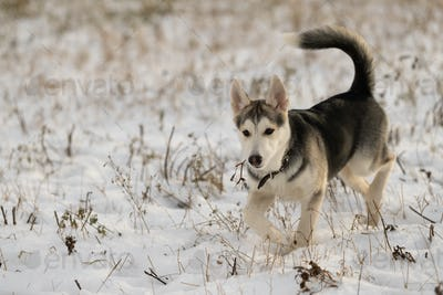 Young husky puppy on a walk in the snow field