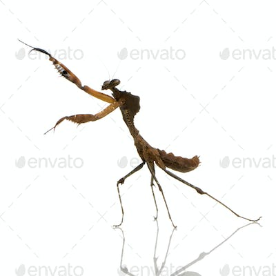 Young praying mantis - Deroplatys desiccata